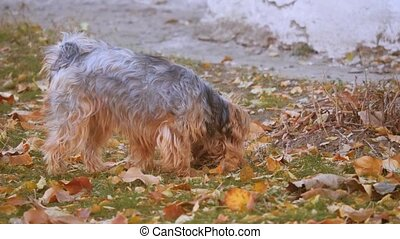 Dog Yorkshire Terrier in Autumn Leaves. Cute dog sniffing on...