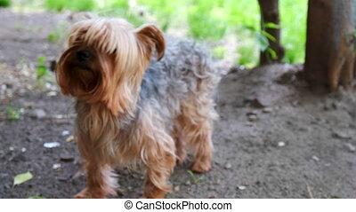 Dog Yorkshire Terrier In park