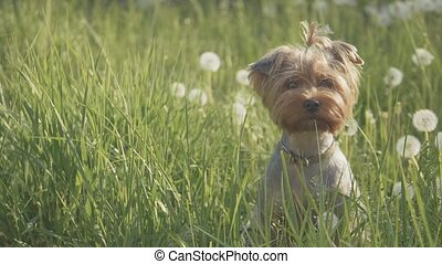 dog yorkshire terrier playing walks in the grass sniffing...