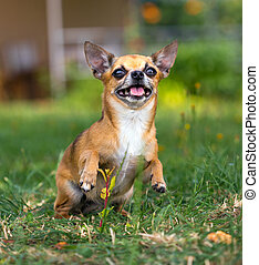 Doggie Chihuahua - Shorthair red chihuahua playing at green...