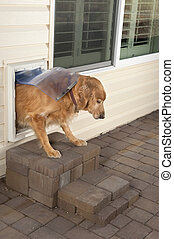 A golden retriver pet walks through a home's doggie door.