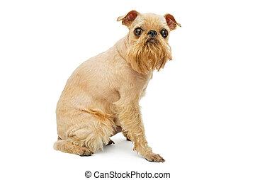 Doggie Griffon grooming - Doggie breed Brussels Griffon...
