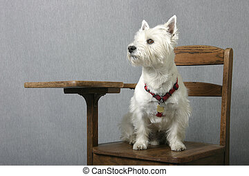 Doggone smart - West Highland Terrier sitting at attention...