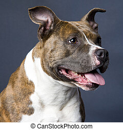 doggy - american staffordshire terrier