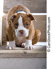 doggy Boxer - puppy boxer on a wooden bench