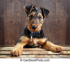 8 weeks old little airedale terrier puppy dog with its paws on a crate