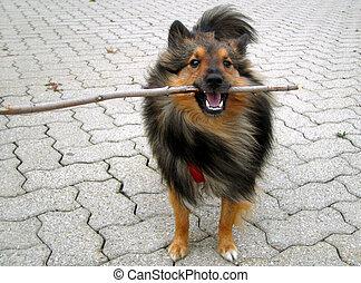 doggy stick - Shetland Sheepdog (Sheltie) plays with stick