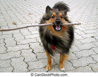 Shetland Sheepdog (Sheltie) plays with stick