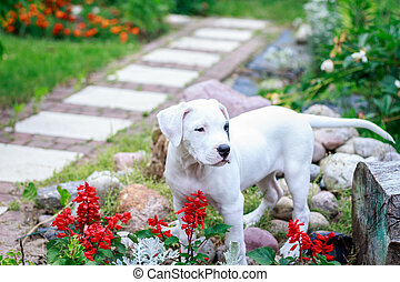 dogo, argentino, jardin, jeune