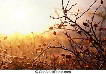 dogrose at morning