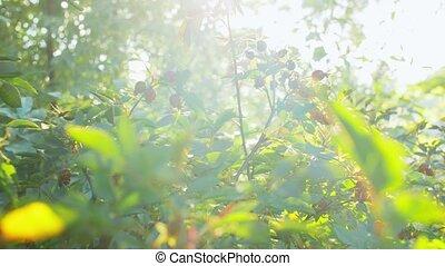 dogrose, buisson, jardin, été, baies