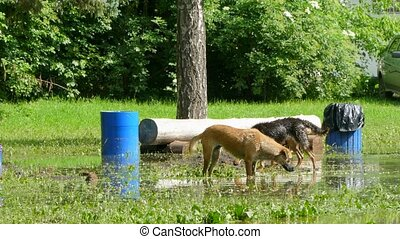 Dogs are eating grass in standing in a large puddle.