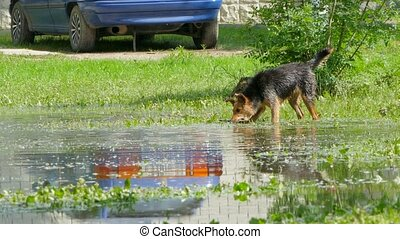 dogs are playing with a stick in a puddle. - two dogs play...