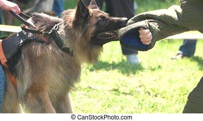 Dog's biting, slow motion. Shepherd is biting hard.