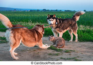 Dogs caught cat. Two siberian husky dogs caught cat on road...