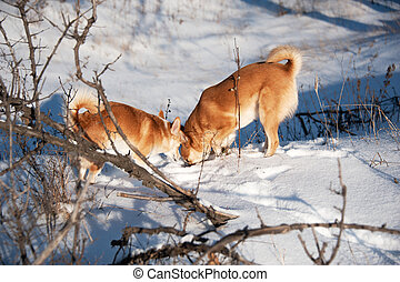 Dogs digging snow. Friendship and fun.