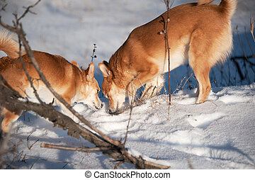 Dogs digging snow.