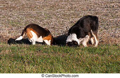 Dogs digging - Two dogs digging to catch a mole.