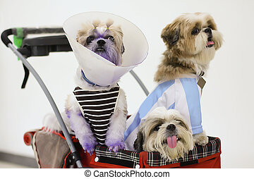 Dogs Dressed up in Pet stroller