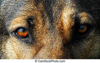 dog\\\'s eyes - eyes of german shepherd