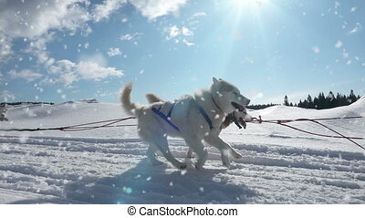 Dogs harnessed by dogs breed Husky pull sled with people, ...