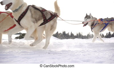 Dogs harnessed by dogs breed Husky pull sled with people, slow motion