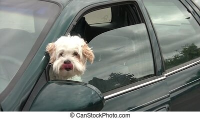 Dogs Head Out Car Window - Small white dog sits in car with...