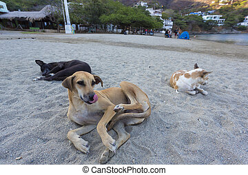Dogs laying down the beach of Taganga in the morning. Colombia