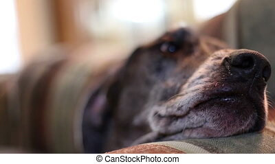 Dogs nose - Great Dane Mastiff mix nose over the couch