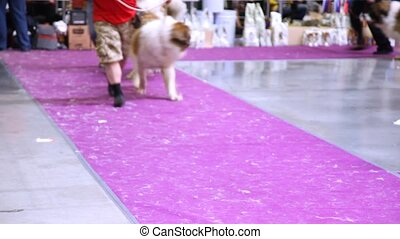 Dogs of breed Moscow Watchdog participates together with...
