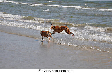 Dogs on the beach - two dogs playing on an ocean beach in ...