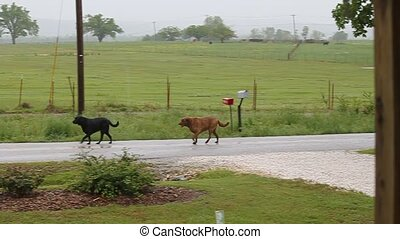 These Dogs were visiting the Dogs at the corner. When they were done they headed this way. They must of known where they going because they wasted no time.