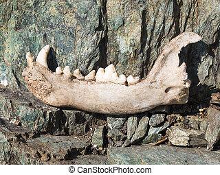 dog's, onderste, jaw, bone, met, enig, teeth, op, rotsen