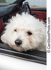Dogs Photos - Poodle