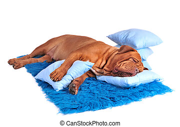 Dogs Place - Dog is sleeping sweetly on its blue carpet
