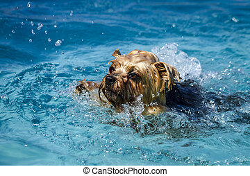 Dogs playing in swimming pool - Close up of Yorkshire...