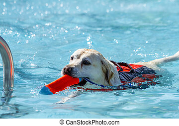 Dogs playing in swimming pool - Yellow Labrador Retriever...
