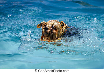 Dogs playing in swimming pool - Yorkshire Terrier paddling...