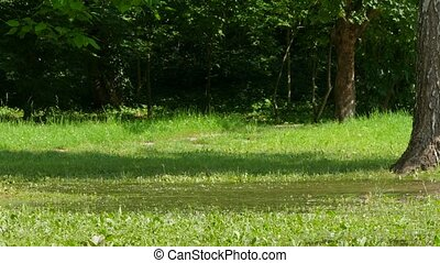 Dogs run around in a puddle in green grass. - two dogs...