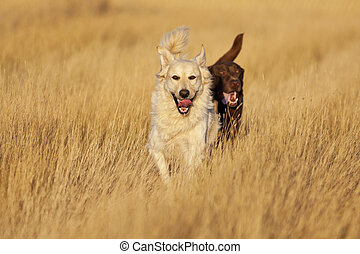 A Golden Labrador Retriever and a Chocolate Lab Retriever running through a harvested wheat field during evening's golden hour.