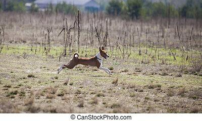 Basenji dogs runs across the field