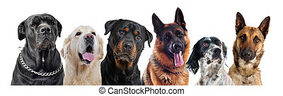 dogs - composite picture with purebred dogs in a white...