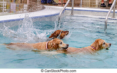 Dogs Swimming in Public Pool - 3 Golden Retrievers jumping...