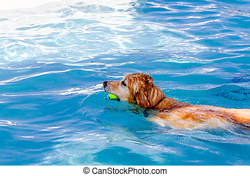 Dogs Swimming in Public Pool - Golden Retriever paddling in...