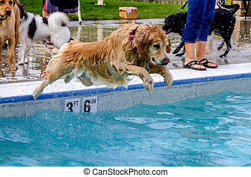 Dogs Swimming in Public Pool - Golden Retriever jumping into...