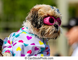 Dogs Swimming in Public Pool - Cute little puppy dressed up...