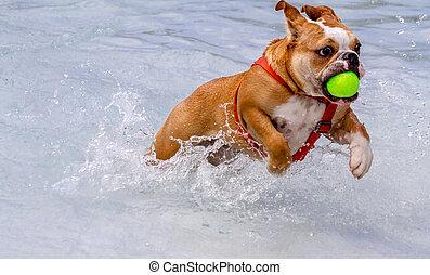 Dogs Swimming in Public Pool - English bulldog puppy running...