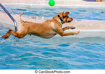 Dogs Swimming in Public Pool - Yellow Labrador Retriever...