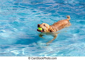 Dogs Swimming in Public Pool - Yellow Labrador Retriever...