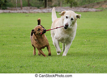Dogs tugging on rope toy - Labrador and a terrier dog...